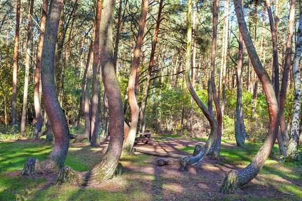 Tidak hanya itu, semua lengkungan pohon ini mengarah ke utara. Sebuah pemandangan unik di tengah hutan yang lebat (iStock)