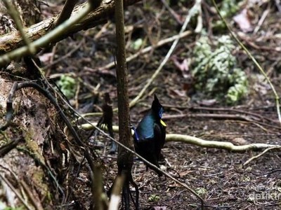 Mengintip Atraksi Tarian The Birds of Paradise di Raja Ampat