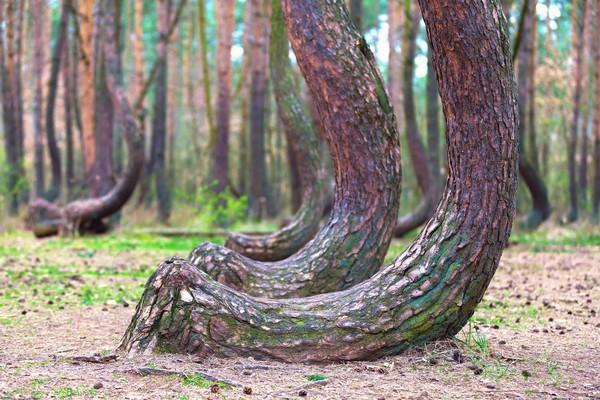 80 Tahun yang lalu, bertepatan saat pohon-pohon ini tumbuh, hutan ini masih berada di bawah kekuasaan Jerman. Kemungkinan besar, pohon-pohon ini ditanam oleh masyarakat yang tinggal di sana pada masa itu (iStock)