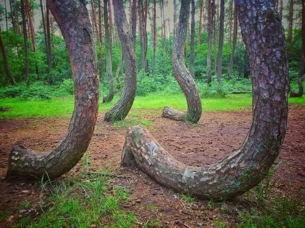 Dilihat dari bentuk dan tinggi pohon, diperkirakan pohon-pohon ini ditanam sekitar tahun 1930. Butuh waktu selama 10 tahun untuk membuatnya cukup besar. Diduga, ada seseorang atau sekelompok orang yang membentuk pohonnya sedemikian rupa (iStock)