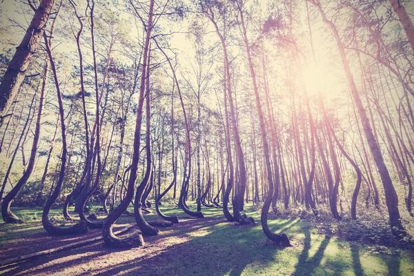 Semua pohon ini melengkung aneh 90 derajat di bagian pangkal dekat tanah, lantas melengkung kembali ke posisi tegak. Itu mengapa nama hutan ini Crooked Forest (iStock)