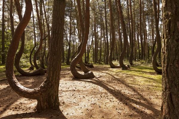 Di bagian tengah hutan di Gryfino, barat laut Polandia memiliki keunikan. Di sana ada sekitar 400 pohon pinus yang berdiri dengan batang meliuk. Lekukan batang yang sangat mencolok menarik perhatian banyak orang (iStock)