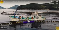Terancam Punah, Perusahaan Ini Bangun Ternak Bluefin Tuna Berkelanjutan
