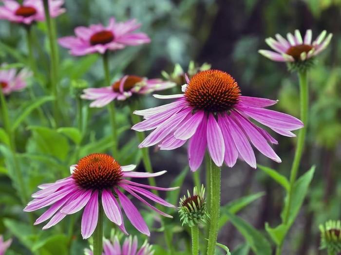 5 Manfaat Bunga Echinacea untuk Kesehatan Tubuh/Foto: iStock