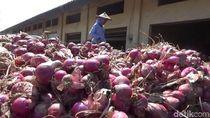 Jelang Panen Raya, Harga Bawang Merah di Probolinggo Anjlok