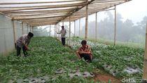 Sayuran Organik dari Lereng MerbabuKini Bisa Dipesan Online