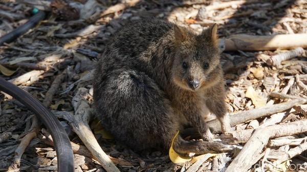 Pulau ini menjadi tempat tinggal hewan ikonik Austalia Barat. Namanya adalah Quokka (Setonix brachyurus) (Masaul/detikcom)