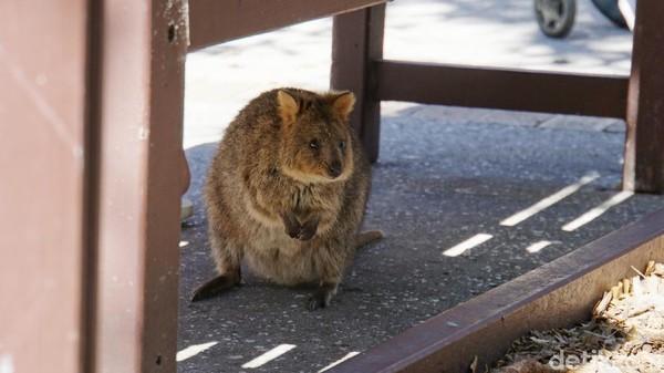 Quokka di kolong kursi. Inilah marsupial mini yang amat lucu dan menggemaskan yang hanya bisa ditemukan di sana (Masaul/detikcom)