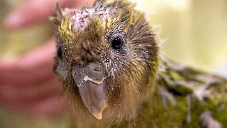 Burung Beo Kakapo yang Terancam Punah Menjalani Operasi Otak