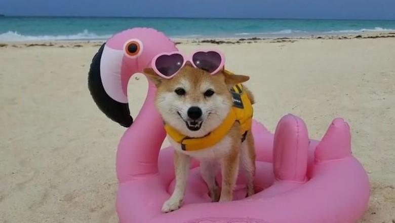 Riri, anjing yang suka pantai (shiba_riri/Instagram)