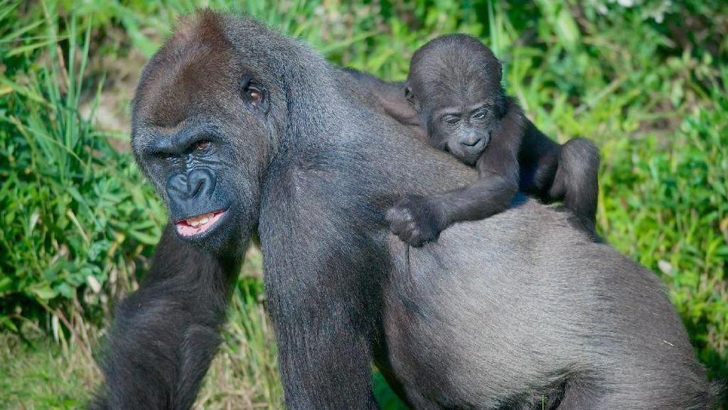 Viral Video Gorila Takut Air Hujan, Ini Cerita Sebenarnya