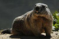 Makan Daging Marmot Mentah Demi Kesehatan, Pasangan Ini Malah Kehilangan Nyawa