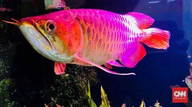 Harga Tembus Rp 5 M Ini Ikan Hias Termahal Sedunia