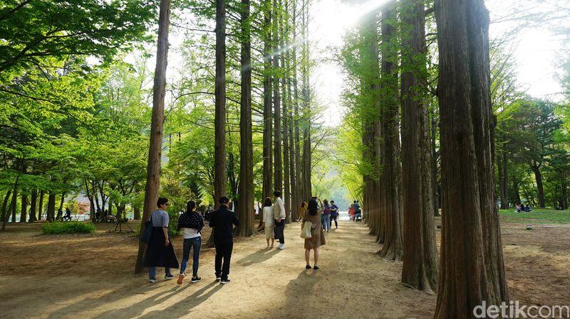 Inilah Pulau Nami, destinasi paling terkenal di Korea Selatan. Tak banyak yang tahu, kalau ternyata Pulau Nami disebut Naminara Republic dan merupakan negara dalam negara di Korea Selatan (Afif Farhan/detikTravel)