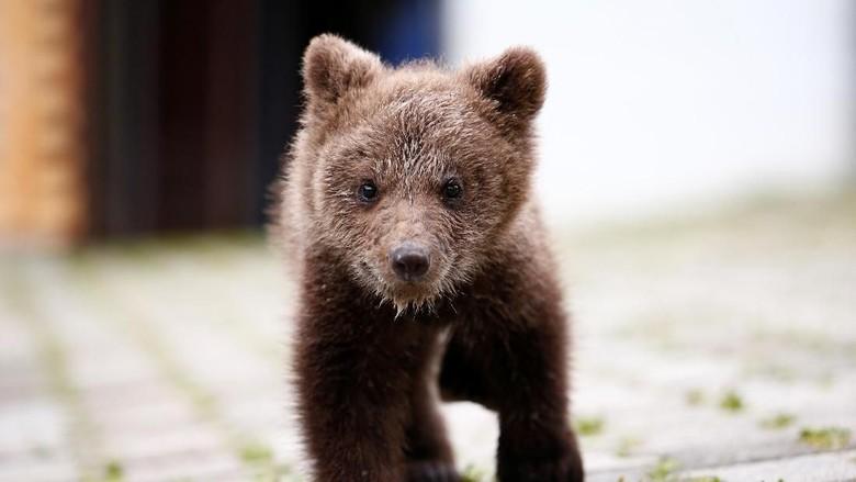 Aida, Bayi Beruang di Bosnia yang Lucu Nan Menggemaskan