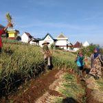 Kementan Targetkan 110 Kabupaten Tanam Bawang Putih