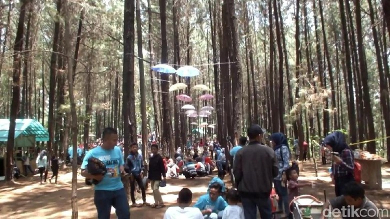Hutan pinus di Garut (Hakim Ghani/detikcom)