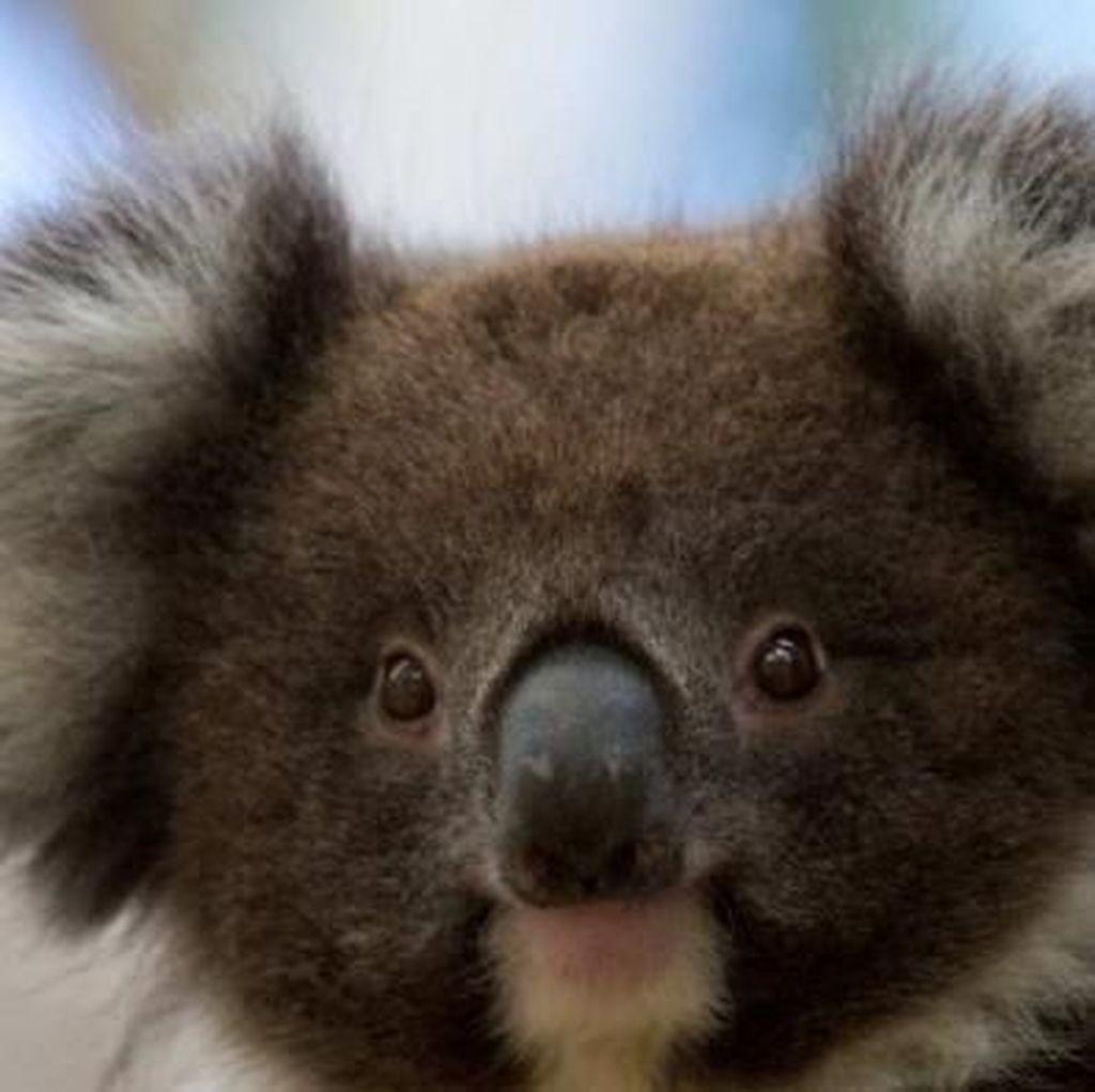 Koala di Australia Selatan Dipasangi KB Implan