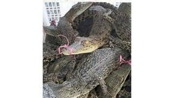 Malaysia Sita 220 Ekor Buaya yang Diselundupkan, 2 WNI Ditangkap