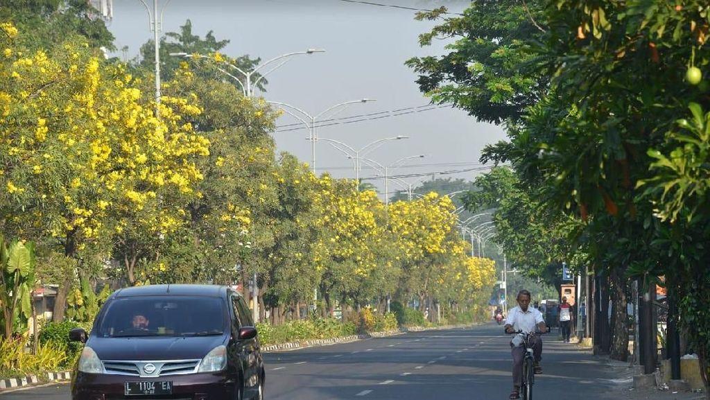 Cantik! Bunga Tabebuya Kuning Mulai Hiasi Jalanan Surabaya