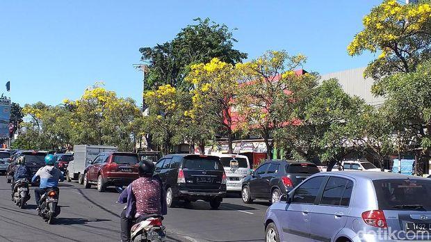 Bunga Tabebuya bersemi di Surabaya/