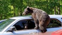 Keluarga Beruang Membajak Mobil di Amerika