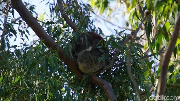 Sekitar setengah jam kami mengeksplor Yanchep National Park untuk melihat koala yang tingga di pohon-pohon tinggi hingga melihat kanguru (Masaul/detikcom)