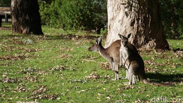Inilah Kanguru di Yanchep National Park. Meski belum puas, kami sudah harus berangkat lagi ke The Pinnacles untuk mengejar sunset (Masaul/detikcom)