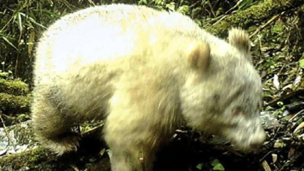 Untuk Pertama Kalinya Panda Albino Terekam Kamera