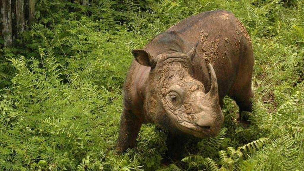 Badak Sumatra di Ambang Kepunahan