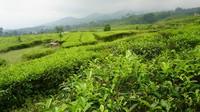 Ciater Tea Mountain di Subang, menawarkan perbukitan teh yang nyaman dan indah untuk bersantai sejenak sebelum melanjutkan mudik (dok LMS)