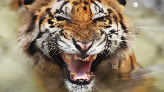 A Bengal tiger reacts while cooling off in a pond inside a cage during a hot summer day at Alipore Zoological Garden in Kolkata on June 20, 2018. - The Bengal tiger was recovered injured from the Sundarbans area bordering Bangladesh and has since lost some of its teeth due to aging. Zoo authorities have taken different measures starting from different summer diets, provided fans or incresed the water sources in the cages to keep the animala cool in this season. (Photo by Dibyangshu SARKAR / AFP)
