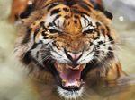 BKSDA Pastikan Petani di Lahat Sumsel Tewas Diterkam Harimau