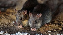 Kota di Kanada Bebas dari Hama Tikus, Bagaimana Caranya?