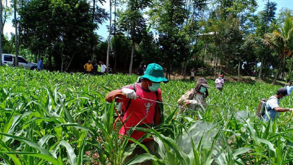 Serangan Hama Ulat Grayak di Sumatera, Kementan Lakukan Antisipasi
