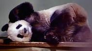 Alasan Mengapa China Pinjamkan Panda ke Kebun Binatang di Seluruh Dunia