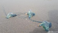 Ubur-ubur Bluebottle Serang Nelayan di Sumbar, Warga Diminta Waspada