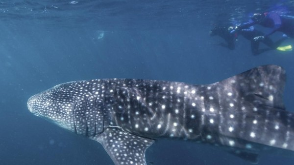 Ningaloo Whale Shark Festival digelar setiap Mei di Exmouth. Ini adalah acara tahunan untuk merayakan migrasi hiu paus tahunan (Tourism Western Australia)