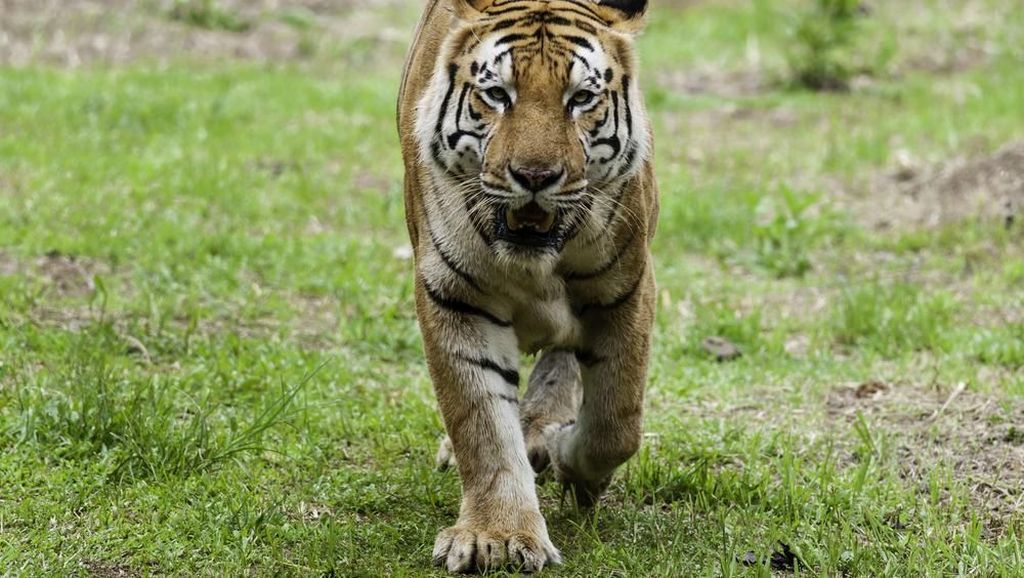 Dalam Sebulan 5 Warga Sumsel Diterkam Harimau, 3 Tewas