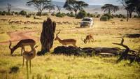 Land Rover Defender menjalani serangkaian tes, termasuk menarik banyak barang dan melacak singa di sepanjang 14.000 hektar Borana Conservancy. Foto: Dok. Land Rover