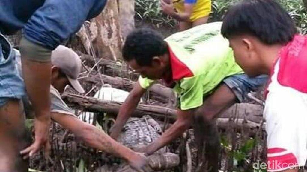 Bikin Resah, Buaya Muara 3 Meter Ditangkap Warga di Sumbawa NTB