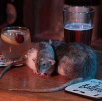 Bayar Rp 700 Ribu Kamu Bisa Main Dan Minum Dengan Tikus Di