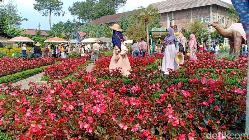 Taman Begonia terletak di Langensari, Lembang, Kabupaten Bandung Barat. Sesuai namanya, Taman Begonia ini dihiasi dengan hamparan bunga Begonia Balinea. (Yudha Maulana/detikcom)