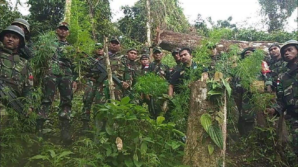 TNI Temukan Ladang Ganja di Perbatasan Papua Nugini