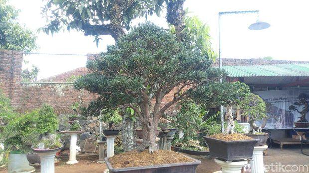 Traveler bisa membeli atau belajar bonsai