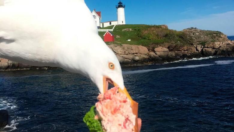 Sandwich milik turis disambar burung camar (dok Alicia Jessop)