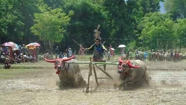 Atraksi budaya masyarakat Sumbawa di Nusa Tenggara Barat tak kalah seru dengan daerah lain. Barapan Kebo adalah salah satu contohnya (Ari/istimewa)