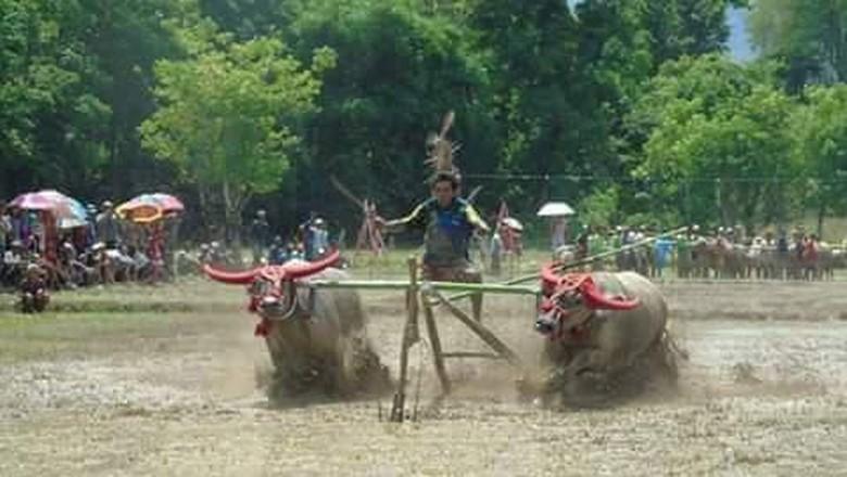 Barapan Kebo Sumbawa (Ari/istimewa)