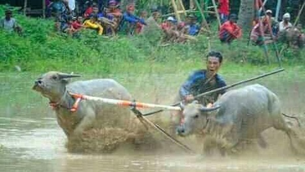 Barapan Kebo menjadi tradisi rakyat Sumbawa di musim penghujan untuk menghibur diri. Biasanya acara ini digelar di saat musim tanam padi (Ari/istimewa)