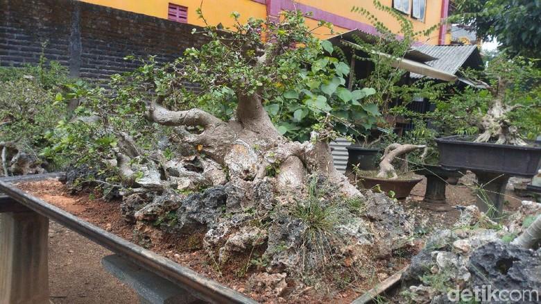 Pohon bonsai di Galeri Ungaran Bonsai Society (Aji Kusuma Admaja/detikcom)